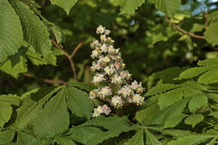 White horse-chestnut, Aesculus hippocastanum or Conker tree with flower and leaf, Sofia. Bulgaria royalty free stock photos