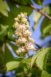 White Horse Chestnut Flower Stock Photo