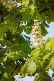 White Horse Chestnut Flower Stock Photos