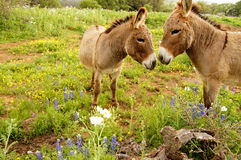 Kissing Donkeys Royalty Free Stock Images