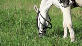 White horse. Close-up white horse eat the grass stock footage