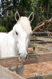 White Horse. Close up of a white horse head looking over a wooden fence Stock Photography