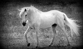 White horse, royalty free stock photos