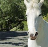 White Horse. A close up portrait of a white horse employed in Equine Therapy stock photo