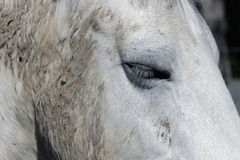 White Horse Close Up. A close up shot of a white horse employed in equine therapy royalty free stock photography
