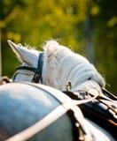 White horse closeup Stock Photography