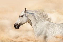 White horse in clouds of dust Stock Photos