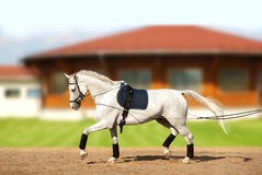 White horse coaching by reins in movement. The white horse coaching by reins in movement Stock Image