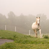 White horse coming over rise Stock Photography