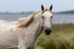 White horse. In the countryside Royalty Free Stock Image