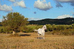 White horse in countryside Royalty Free Stock Images