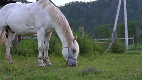 White horse in the countryside. A white horse grazes in the countryside in the evening stock video