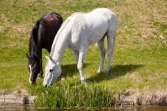 White horse and dark horse grazing together Royalty Free Stock Photo