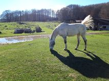 White horse in a bucolic landscape. White horse with dark points in a bucolic landscape with green meadows and a blue sky. This magnificent place is in Italy royalty free stock photos