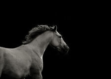 White horse in the dark running fast Stock Image