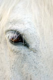 White Horse detail. Close up view of the brown eye of a white horse Royalty Free Stock Photography
