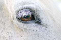 White Horse detail. Close up view of the brown eye of a white horse Royalty Free Stock Image