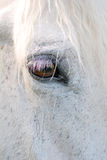 White Horse detail. Close up view of the brown eye of a white horse Royalty Free Stock Images