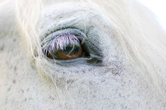 White Horse detail. Close up view of the brown eye of a white horse Stock Photos
