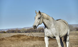 White Horse with Dirt on Back Royalty Free Stock Photos