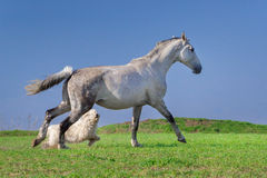 White horse and dog play Royalty Free Stock Photos