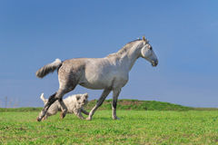 White horse and dog play