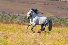 White horse with dog Royalty Free Stock Photos