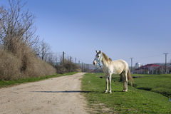 White Horse. A domestic white horse waiting for his owner. Pestera, Constanta, Romania Royalty Free Stock Images