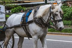 White horse drawing the carriage. White horse drawing a carriage of people in Central Park, NYC royalty free stock images