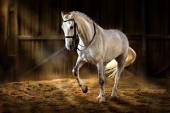 White horse dressage. White horse make dressage piaff in dark manege Stock Photos