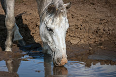 White horse drinking water. White horse drinks water from a puddle during droughts Royalty Free Stock Photo