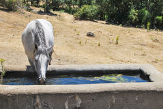 White horse drinking water from stone capacity Stock Images
