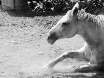 White horse and dust. A tired white horse with a lot of dust near him Stock Photo