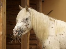 White horse eating Royalty Free Stock Image