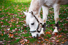 White horse eating. A beautiful white horse eating grass. There are autumn leaves all over the place stock photography