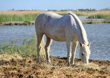White horse eating, Camargue, France Royalty Free Stock Image