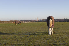 White horse eating early morning Royalty Free Stock Photo