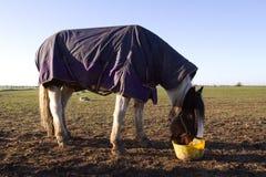 White horse eating early morning Royalty Free Stock Image