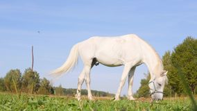 White horse eating on a field. 4k.  stock footage