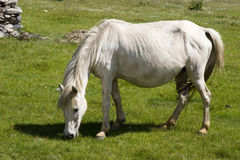 White horse eating grass Royalty Free Stock Images