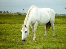 White horse eating grass Royalty Free Stock Photography