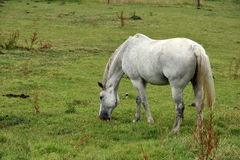 A White Horse Royalty Free Stock Images