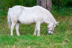 White horse eating grass. A background of green trees Royalty Free Stock Photos