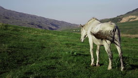 White horse eating grass on beautiful mountain grassland. Kazakhstan zhaylau stock video