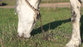 A horse is eating grass in a meadow stock video footage