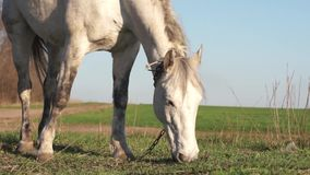 A horse is eating grass in a meadow. White horse eating grass close-up of an animal`s head on a green spring meadow in a village near a farmer stock video footage