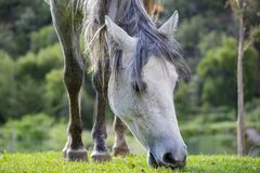 White horse eating grass royalty free stock photo