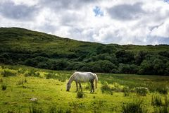 White horse  eating grass on empty meadow, grassland with hills and puffy clouds stock photos