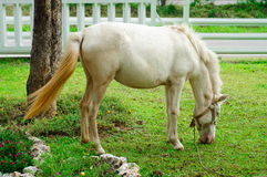 White horse eating grass. In farm Royalty Free Stock Images