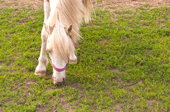 White horse eating grass Stock Image